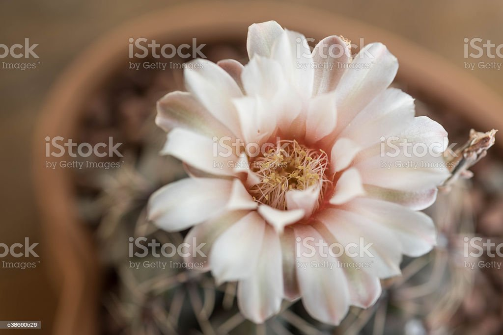 Cactus flower in clay pot,Gymnocalycium stock photo