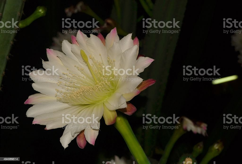 cactus flower in the night stock photo