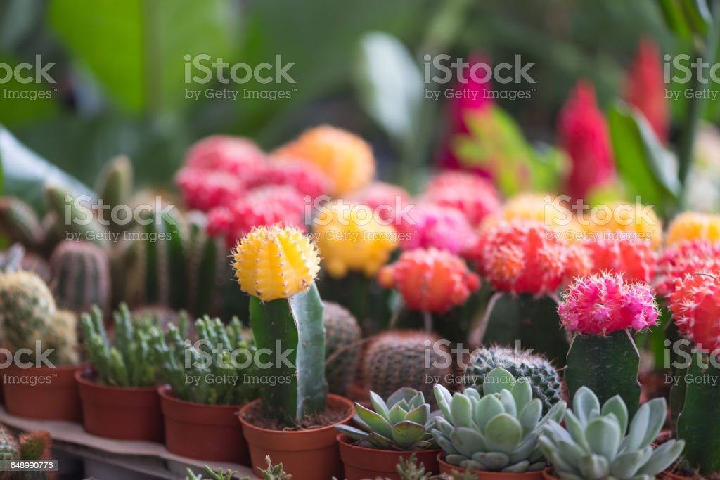 Cactus flower in the pot, soft focus stock photo