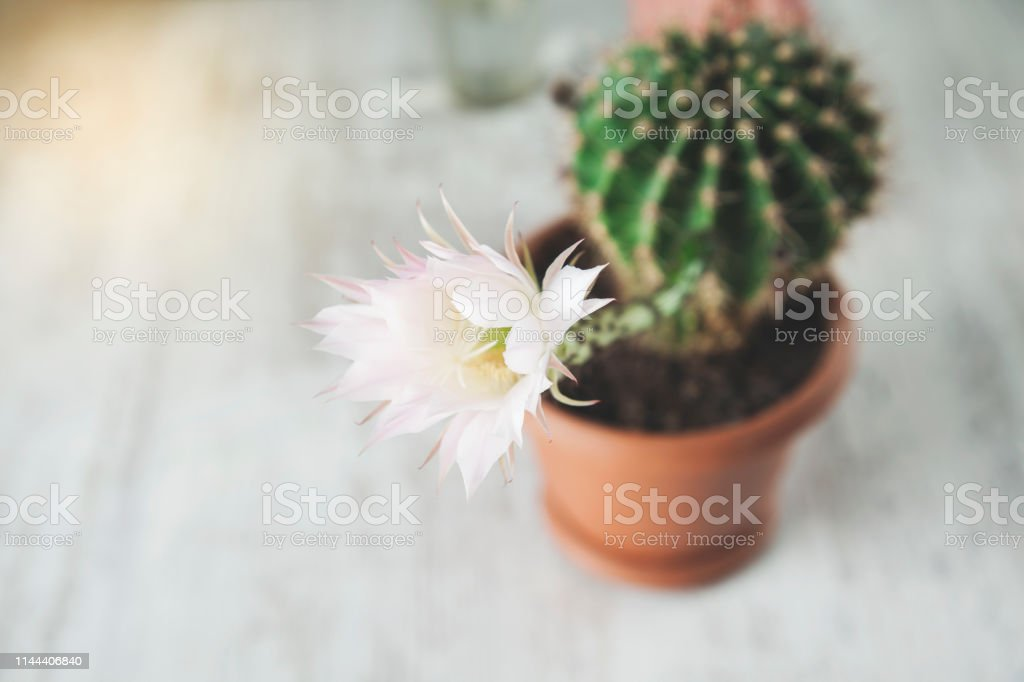 cactus flower on the wooden desk background