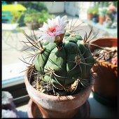 istock Cactus Flower 1284721735