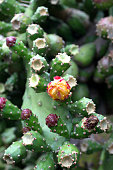 A prickly pear cactus blooms.