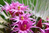 Blossoms of cactus (Mammillaria) - pink cactus flowers - detail
