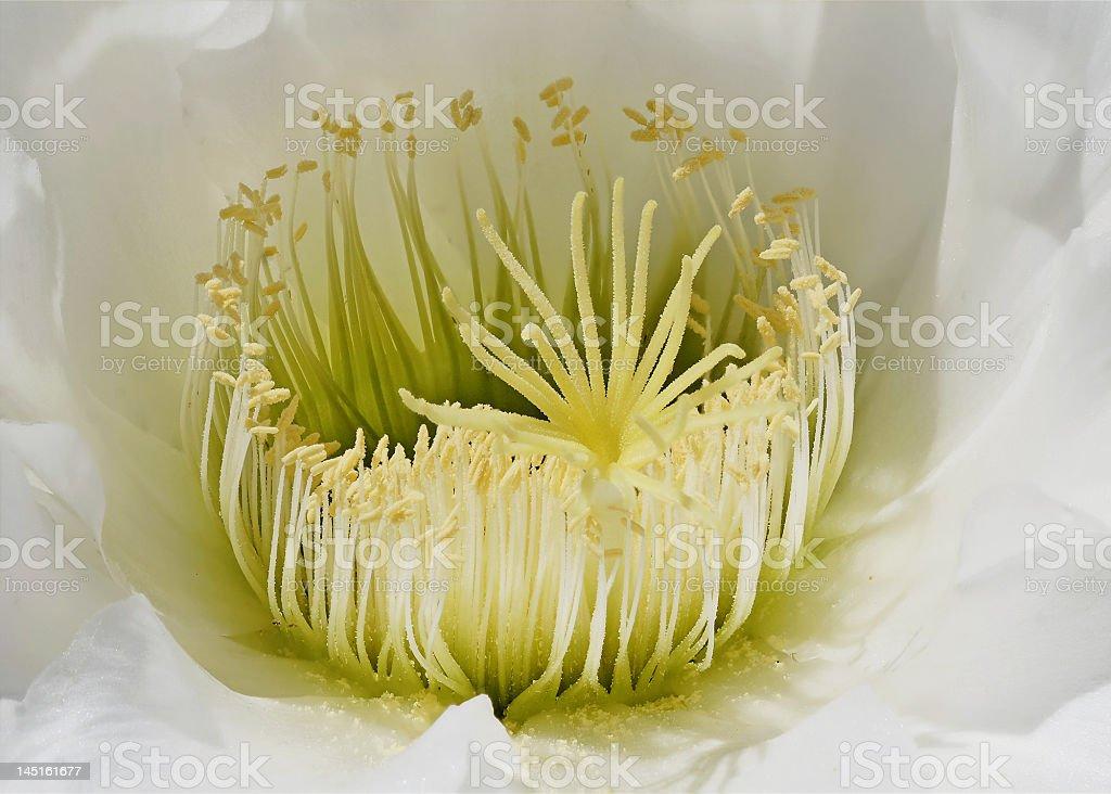 Cactus Flowerhead stock photo