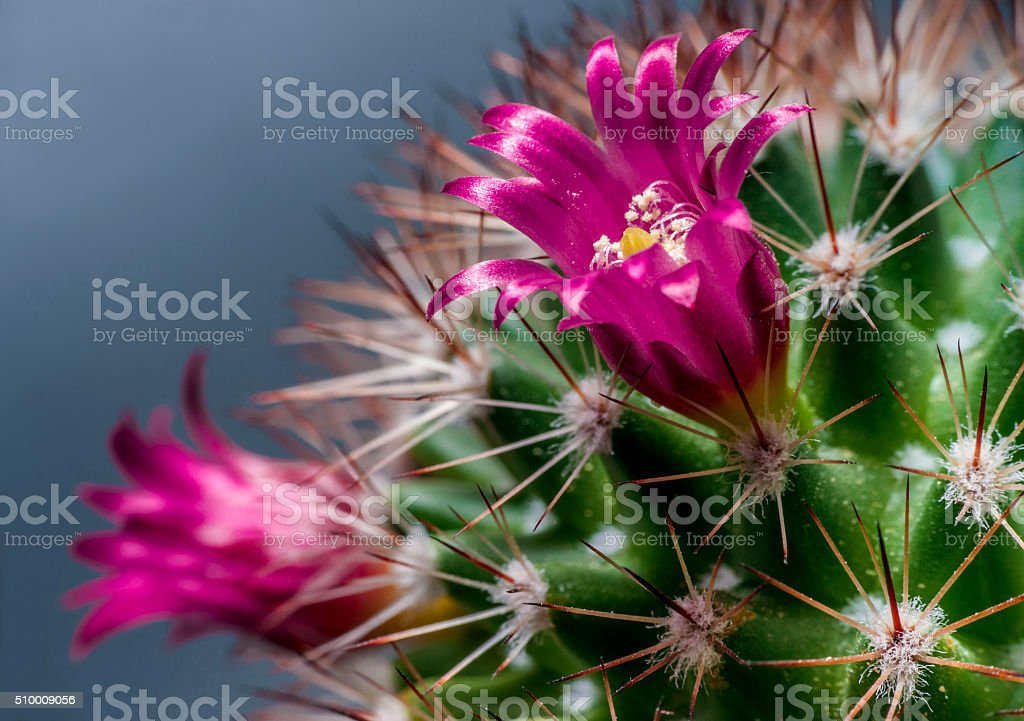 Cactus flowering stock photo