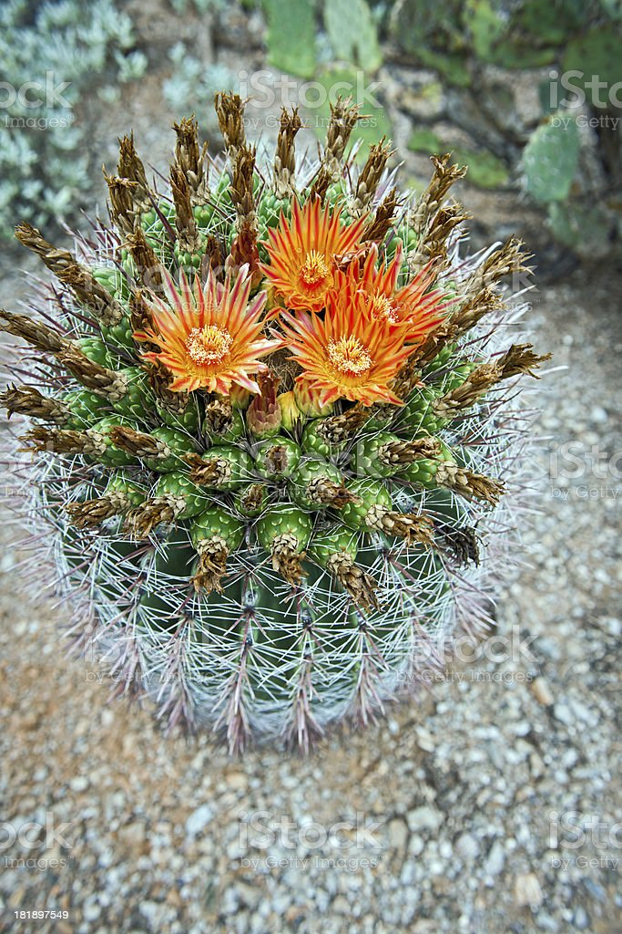 Cactus Flowers at Saguaro National Park royalty-free stock photo