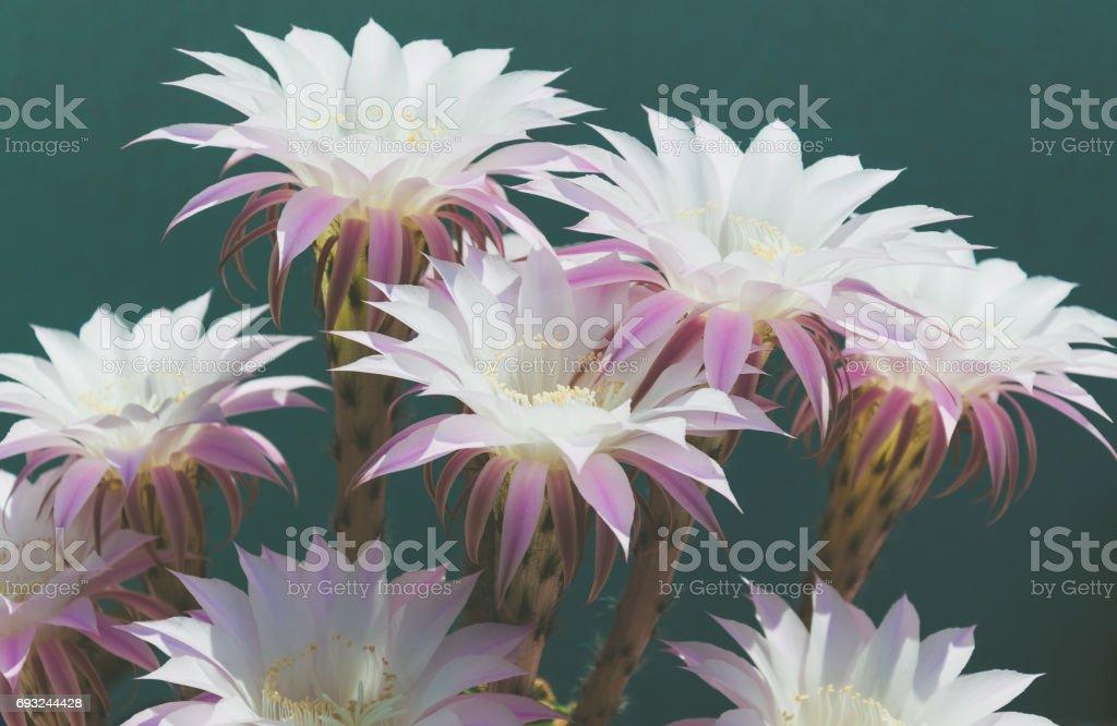 Cactus flowers, echinopsis multiplex. Selective focus. stock photo