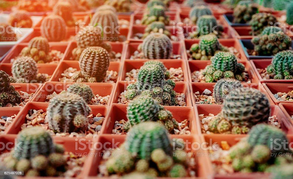 Cactus Flowers in pots , colorful flowers pots, flowers shop. photo libre de droits
