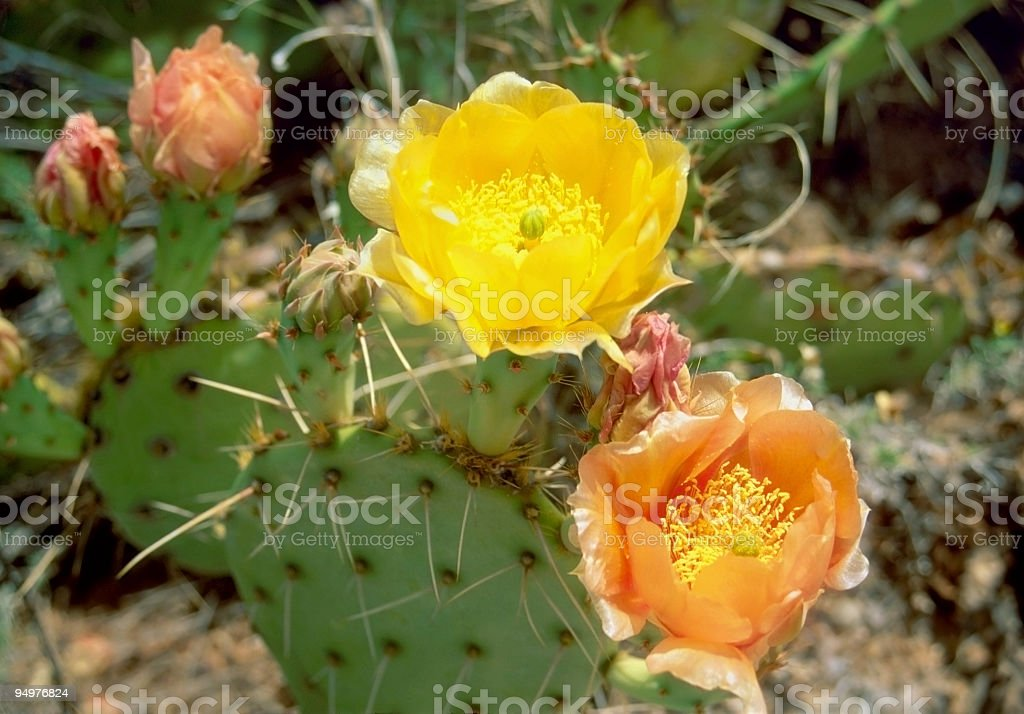 Cactus Flowers royalty-free stock photo