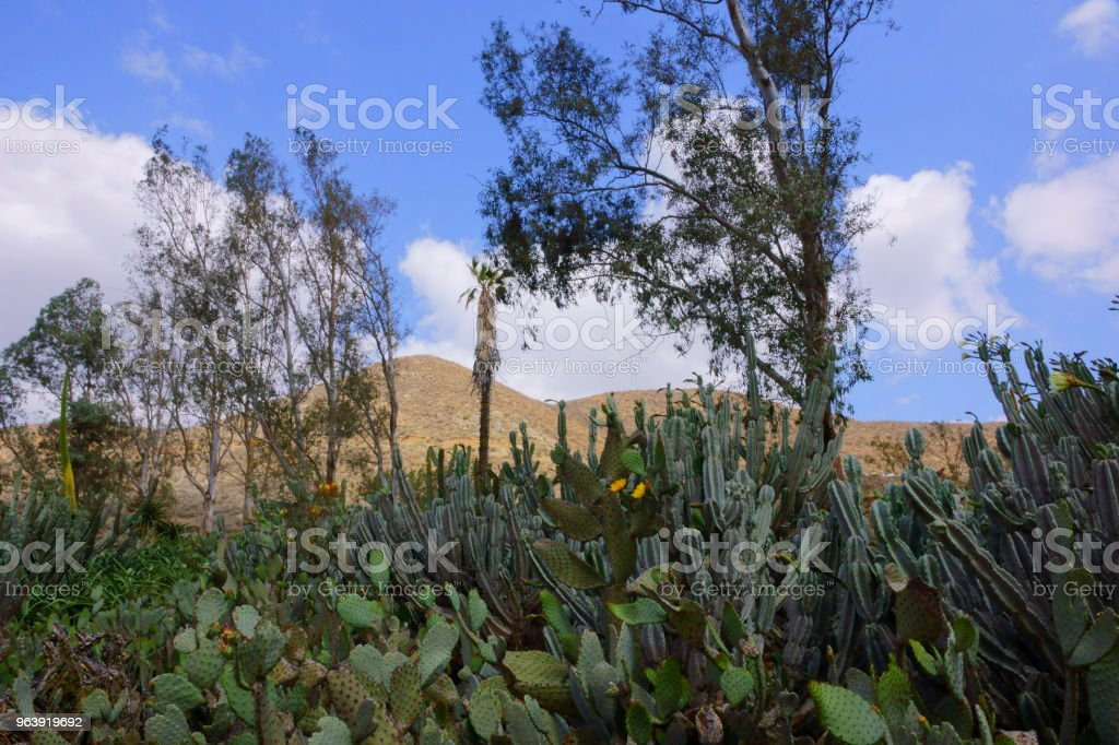 Cactus forest. - Royalty-free Beauty In Nature Stock Photo