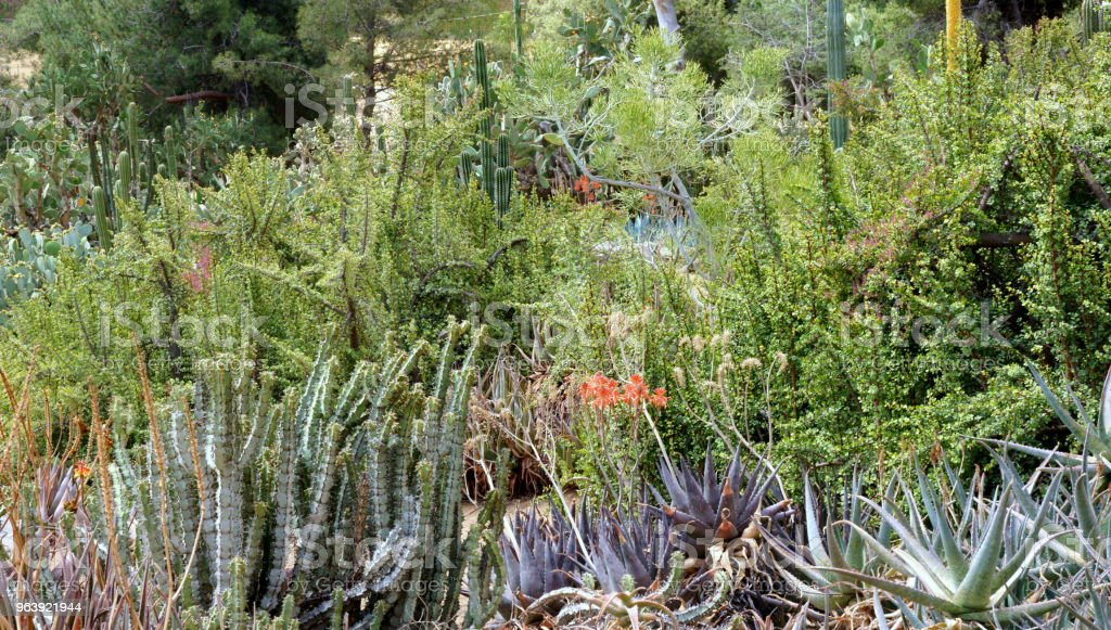 Cactus forest. - Royalty-free Backgrounds Stock Photo