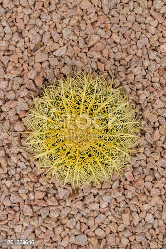 A cactus from above on a rock background