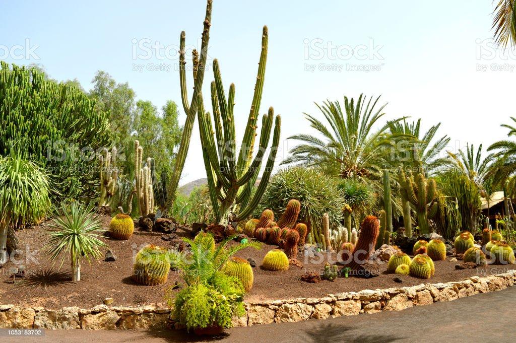 Cactus garden in La Oliva stock photo