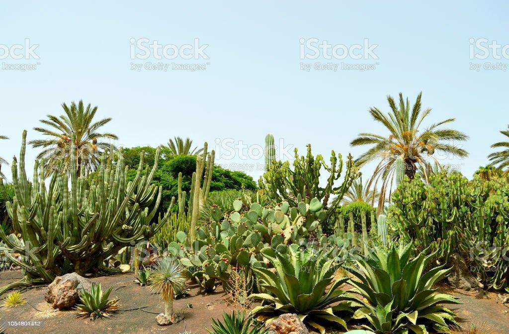 Jardín de cactus en La Oliva - foto de stock
