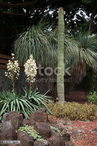istock Cactus garden with flowering yucca's 1310397228