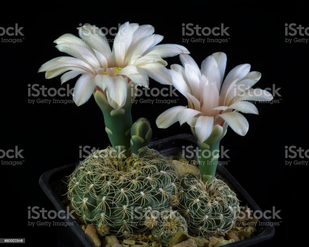 Cactus Gymnocalycium calochlorum stock photo