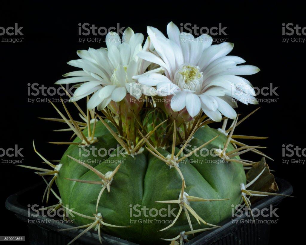 Cactus gymnocalycium eurypleurum stock photo