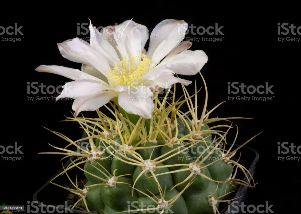 Cactus Gymnocalycium monvillei stock photo