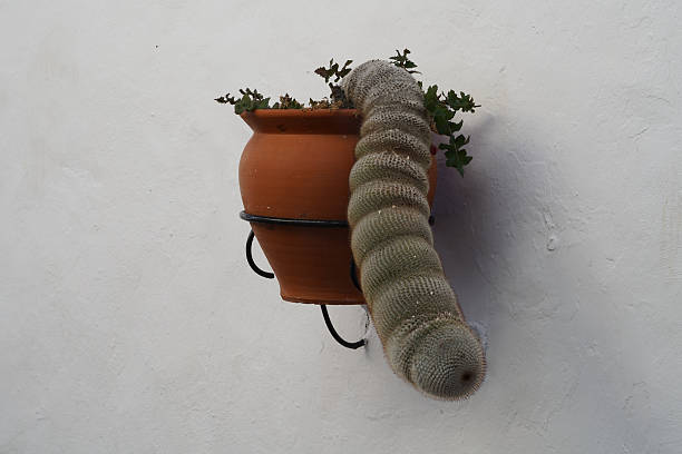 cactus hängende wie die trunk - tierpenis stock-fotos und bilder
