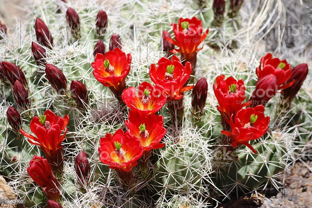 Cactus Hedgehog calico with red flowers in Arizona, USA stock photo