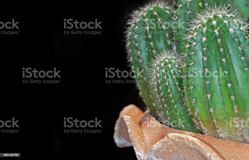Cactus in a Flowerpot Isolated on Black Background with Space zbiór zdjęć royalty-free