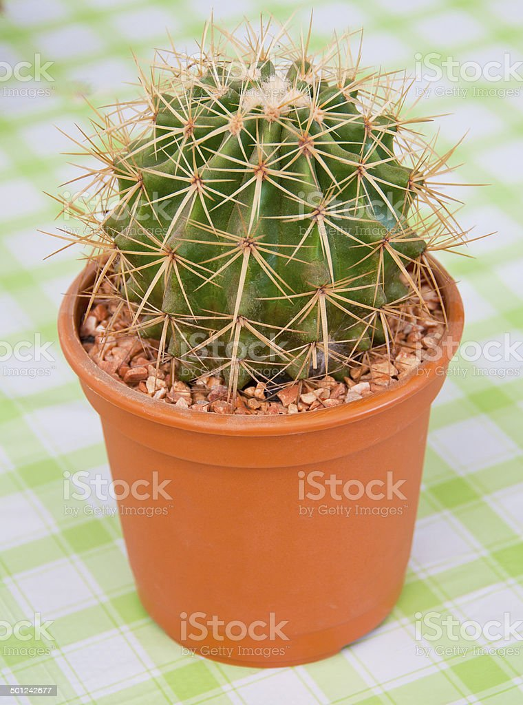 Cactus in a pot on the table stock photo