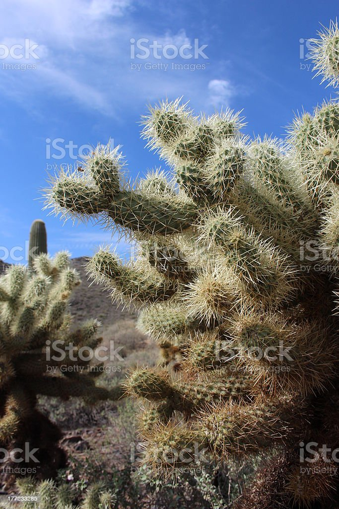 Cactus in Arizona Desert royalty-free stock photo