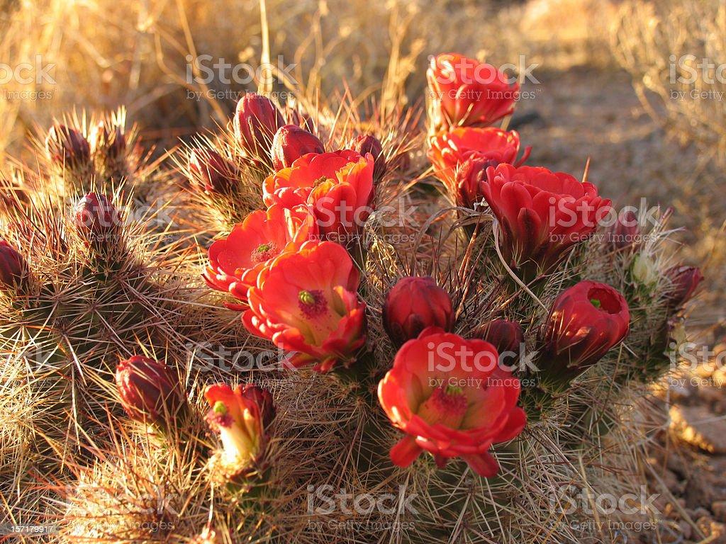 Cactus in Bloom stock photo