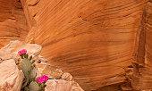 istock Cactus in bloom 943147446