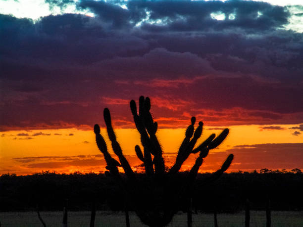 cactos na caatinga - nordeste - fotografias e filmes do acervo