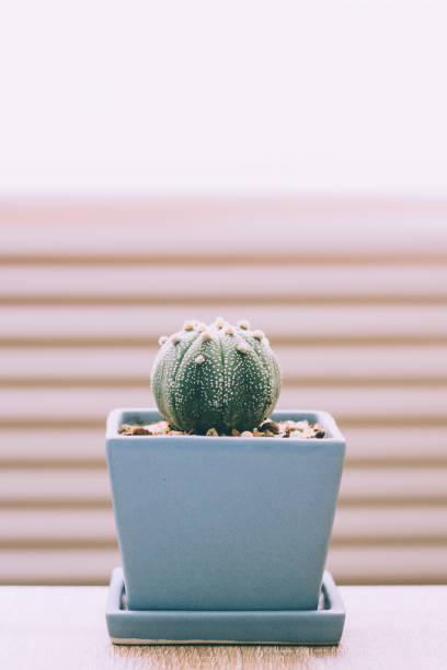 Cactus in ceramic pot stock photo