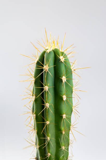 cactus in close-up op witte achtergrond - stekels stockfoto's en -beelden
