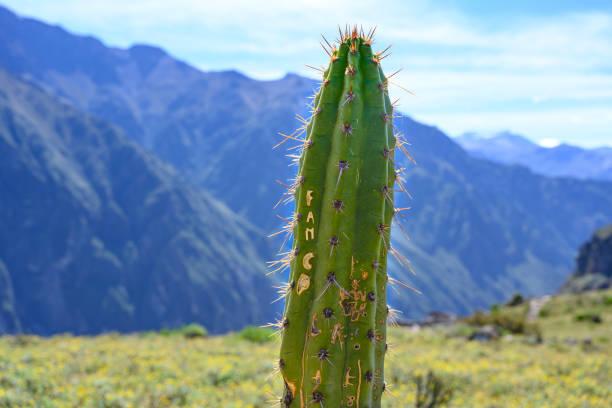 Cactus in Colca Canyon stock photo