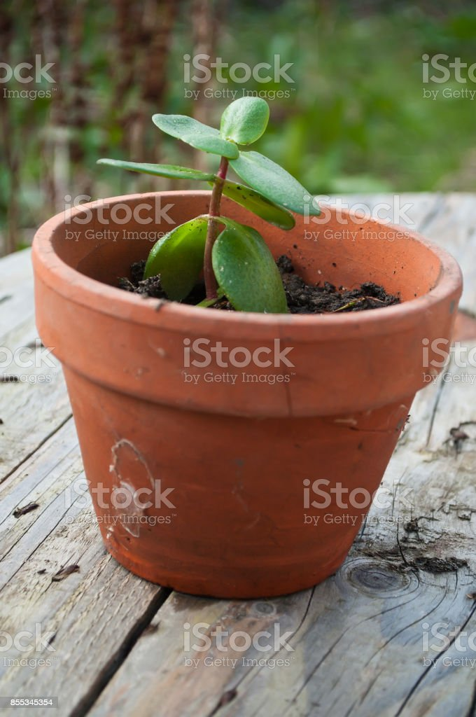 cactus in jar on wooden background stock photo