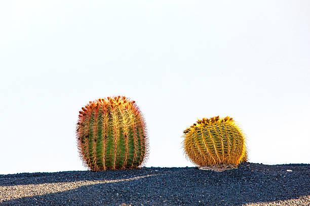 Cactus na ilha de Lanzarote, Espanha Echinocactus grusonii - foto de acervo