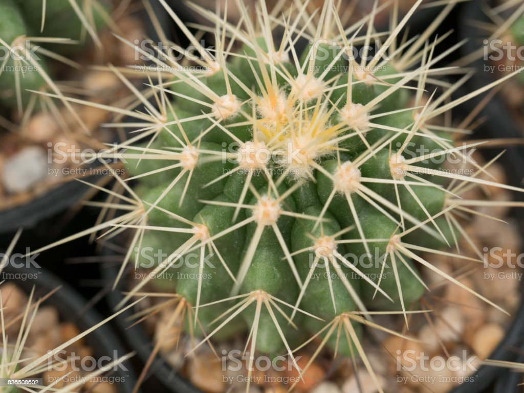 Cactus in nursery stock photo