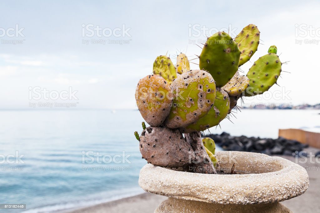 cactus in pod on waterfront in Giardini Naxos stock photo