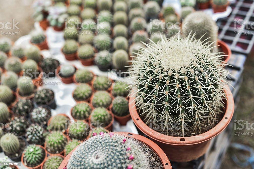 Cactus in pot background stock photo