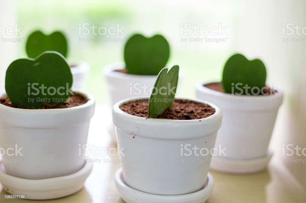 Cactus in pots,The leaves are heart-shaped nursery stock photo