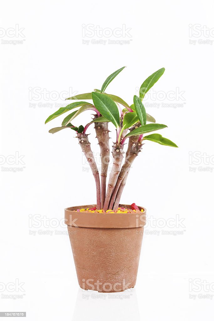 Cactus in potted royalty-free stock photo