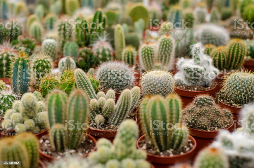 Cactus in shop-window stock photo