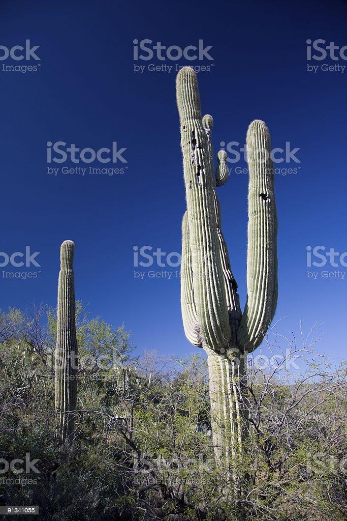 Cactus in Southern Arizona royalty-free stock photo