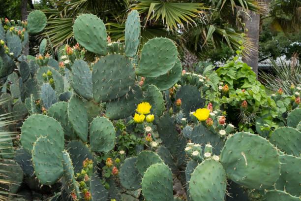 Cactus in Texas stock photo