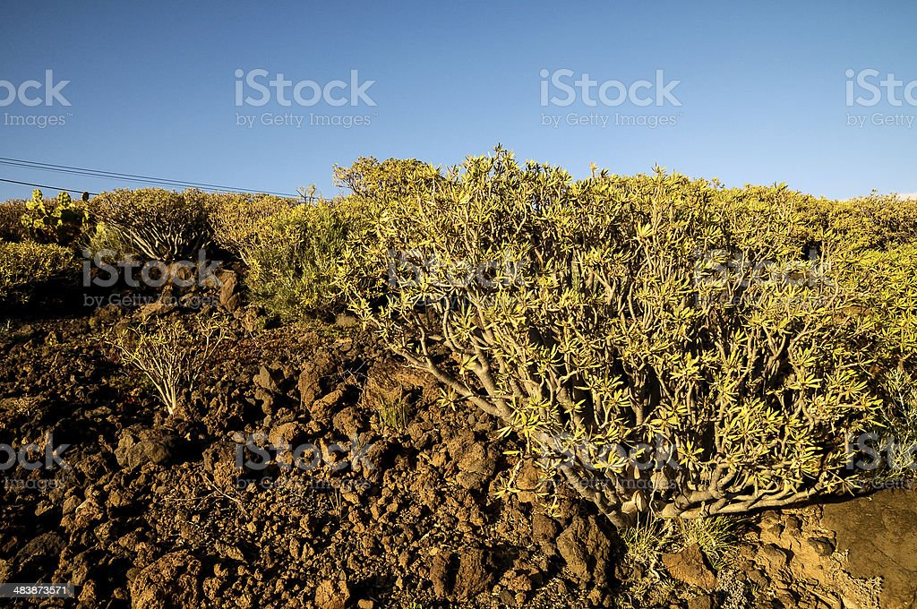 Cactus in the Desert stock photo