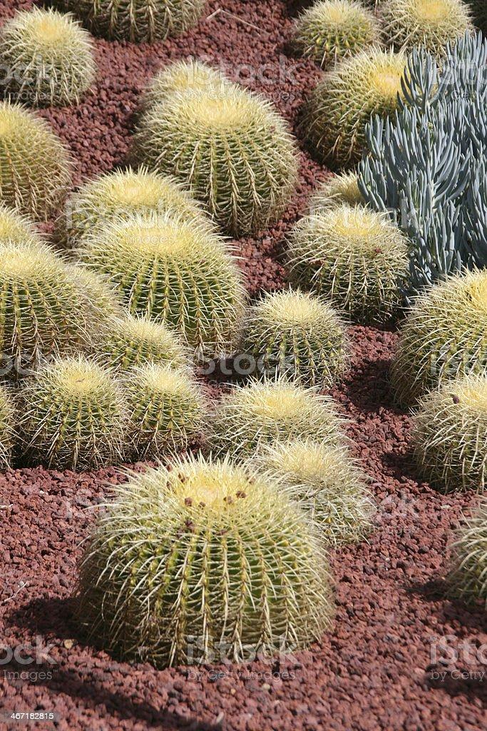 Cactus (cereus) in The Royal Botanic Gardens, Sidney, Australia royalty-free stock photo
