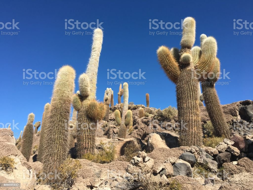 Cactus in the Salt Flats of Bolivia stock photo