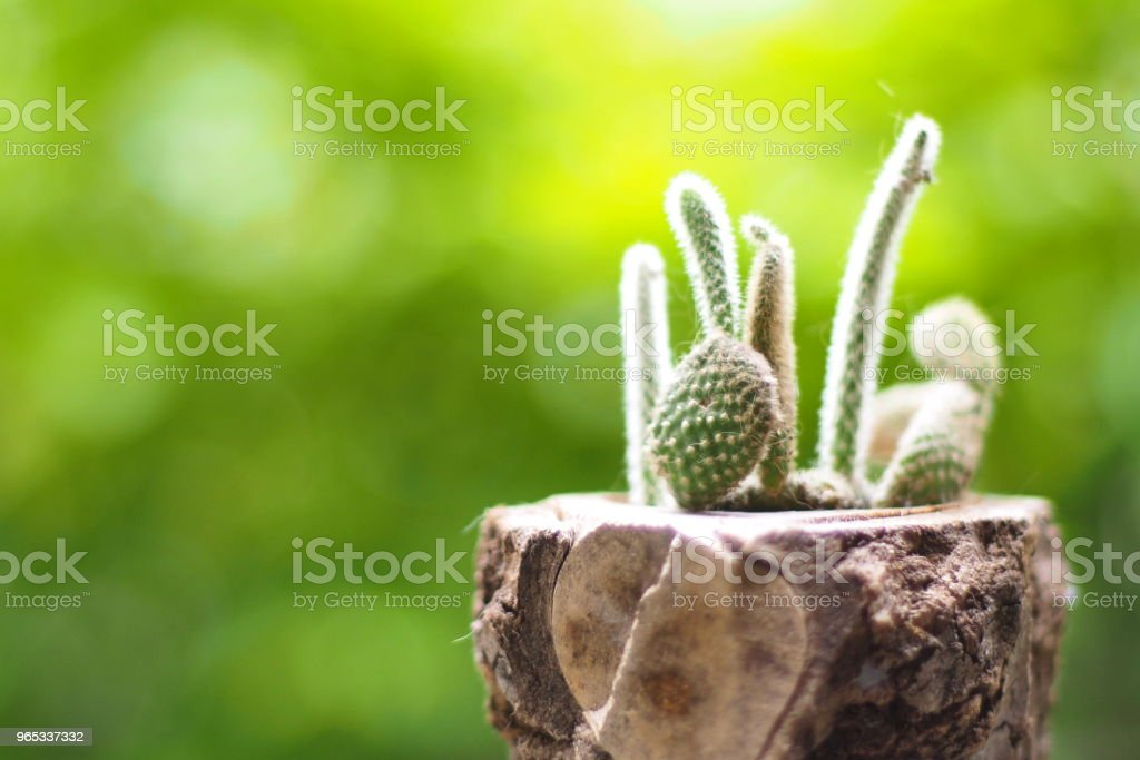 cactus in wooden pot zbiór zdjęć royalty-free