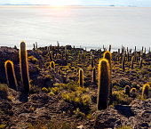 Large cactuses on Cactus island in the Bolivian salt flat Uyuni