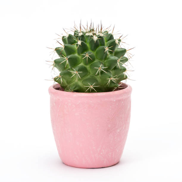 Cactus isolated on white background. Aloe and other succulents in colorful ceramic pot stock photo