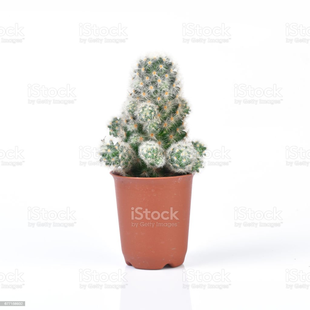 Cactus isolated on white background stock photo